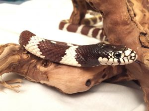 King Snake_Oreo_beth_dekker_IMG_0846