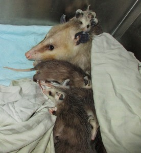 Opossums - Wildlife Rehabilitation and Release