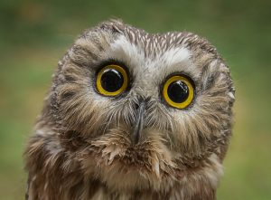 bella owl