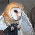 Healing Miracle Owl Wing