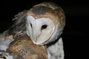 barn owl adult