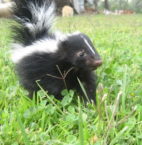 young skunk by Jim Crummet