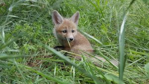 wildlife rehabilitation, and release, wildlife rescue - red-fox-baby-1
