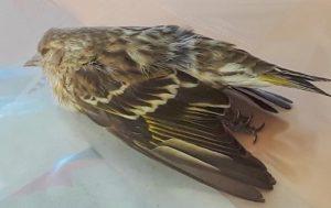 pine siskin dead janice barbary 382_cr