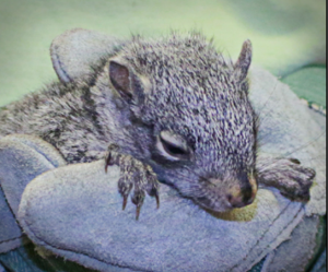 Chainsaw the squirrel resting
