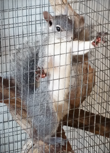 Chainsaw the squirrel Ready for release